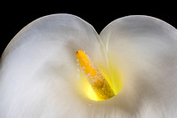 Calla Lilly III