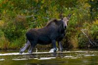 Young Moose, Big Moose Pond, Maine